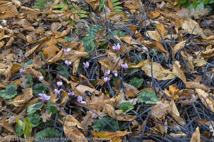 Ophiopogon planiscapus 'Nigrescens', Cyclamen hederifolium, syn. Cyclamen neapolitanum, leaves