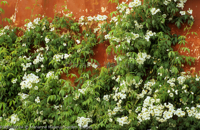 Rosa brunonii 'La Mortola', terracotta coloured wall
