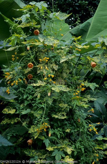 Eccremocarpus scaber, Musa basjoo, Abutilon pictum 'Thompsonii'
