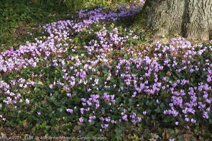 Cyclamen hederifolium, syn. Cyclamen neapolitanum under tree