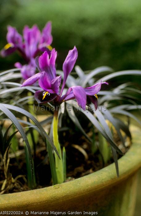 Iris reticulata 'J.S. Dijt' with Ophiopogon planiscapus 'Nigrescens' in terracotta container