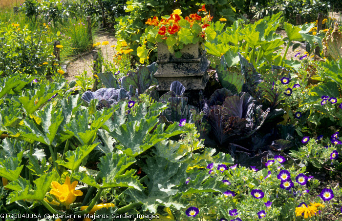 Courgette tromboncino, Cabbage Primo, Cabbage Cabeza Negra