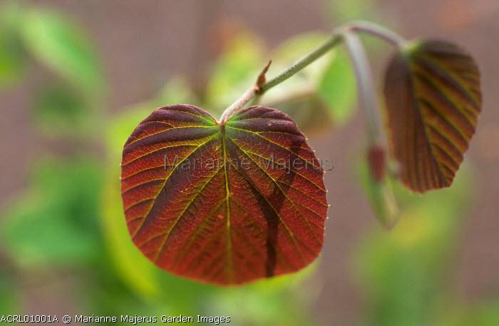 Corylopsis spicata leaf