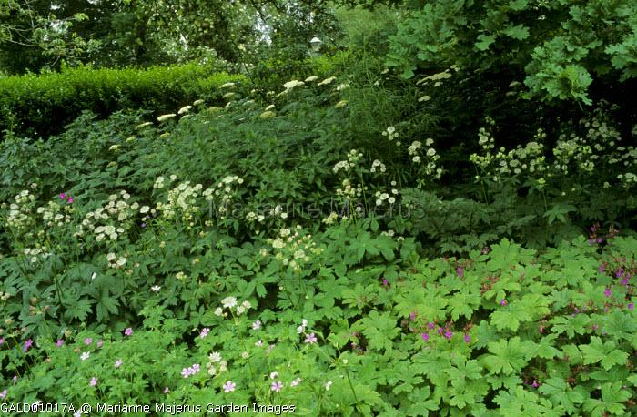 Achillea gigantea, Astrantia major, geraniums