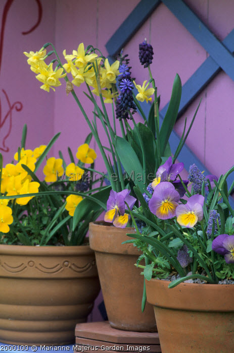 Narcissus 'Hawera', muscari and violas in terracotta pots, painted wall