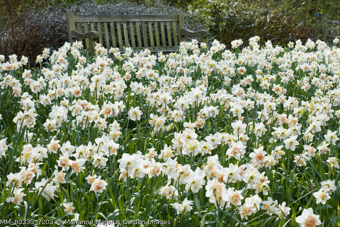 Narcissus 'Replete' naturalised in lawn, bench