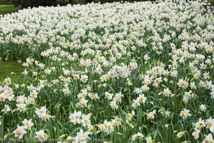 Narcissus 'Delnashaugh' naturalised in lawn