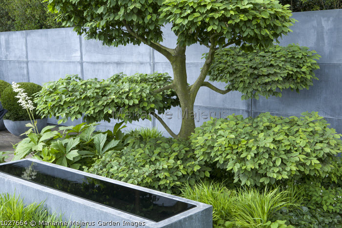 Zinc covered wall and zinc water trough designed by Domani, cloud-pruned hornbeam, Rodgersia podophylla, Hakonechloa macra, niwaki