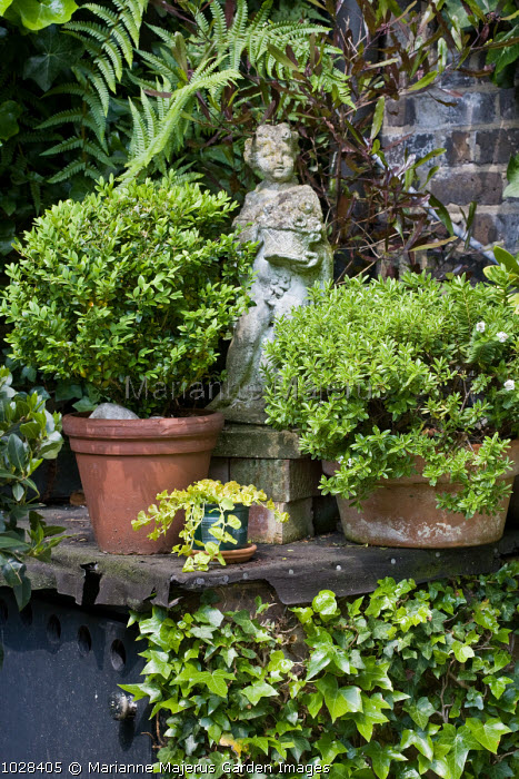 Green corner, ornament, Buxus sempervirens and hebe in terracotta pots