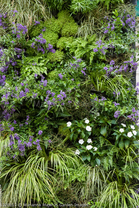 Living green wall with acorus, duranta, helixine and carex