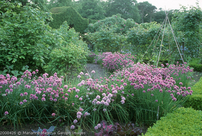 Chives in potager
