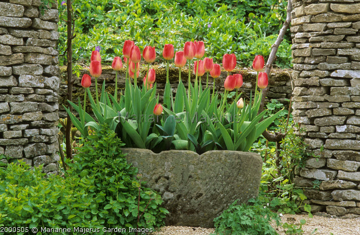 Red tulips in stone trough