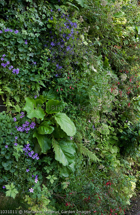 Green wall with bergenia and campanulas