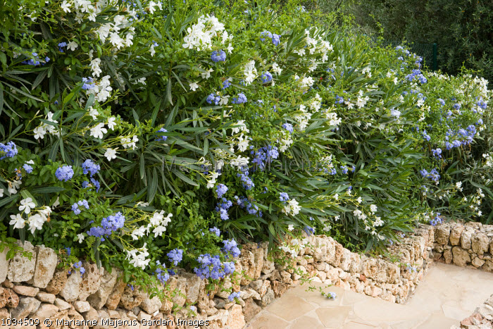 Plumbago auriculata, syn. Plumbago capensis and Nerium oleander in raised bed
