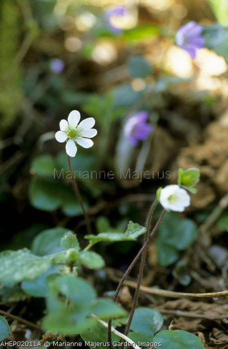 Hepatica nobilis growing in the wild in the Pyrenees