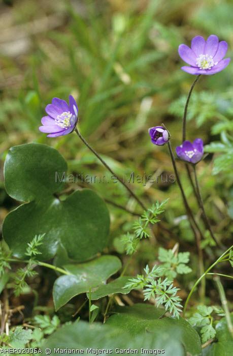 Hepatica nobilis growing in the wild in the Pyrenees