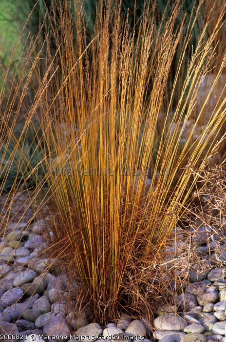 Molinia caerulea ssp caerulea 'Heidebraut'