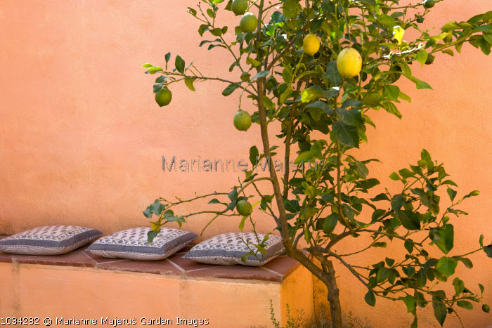 Built-in seating with cushions, lemon tree