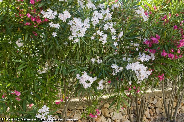 Nerium oleander hedge