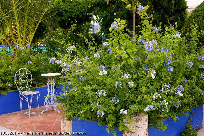 Plumbago auriculata syn. Plumbago capensis in raised blue painted beds, table and chair, Phoenix canariensis