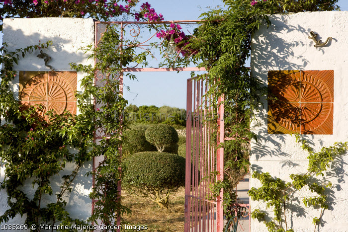 Pink gate, bougainvillea, clipped olive trees