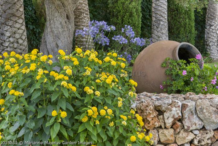 Terracotta urn, agapanthus, Lantana camara