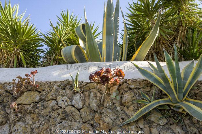 Aeonium and Agave americana 'Variegata' in stone wall