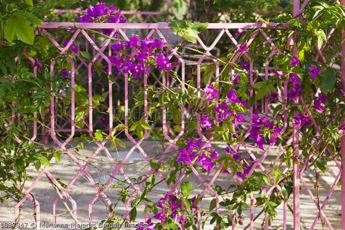 Bougainvillea on pink metal railings