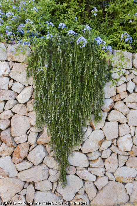 Trailing Rosmarinus officinalis 'Prostratus', syn Rosmarinus eriocalyx, Rosmarinus lavandulaceus on dry-stone wall, plumbago