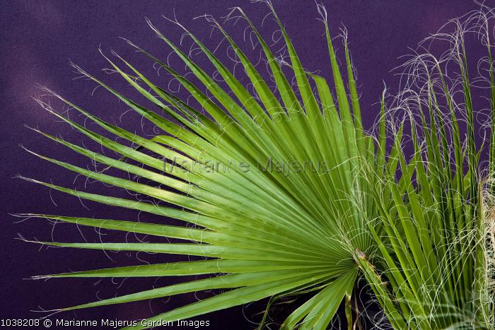 Washingtonia filifera, purple wall