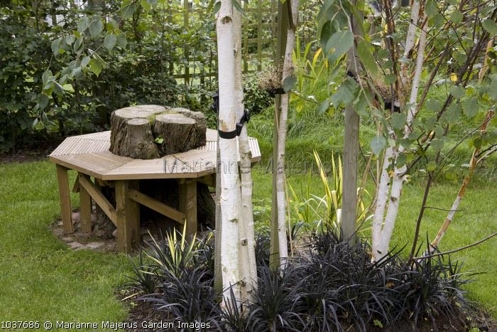 Wooden tree seat around tree stump, birch trees underplanted with Ophiopogon planiscapus 'Nigrescens'
