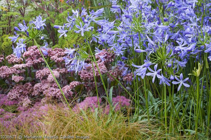 Agapanthus 'New Blue', Sedum spectabile 'Brilliant', Hylotelephium 'Matrona' syn. sedum, Carex testacea
