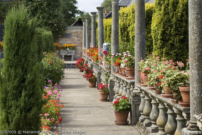 Balustrade with pelargoniums in pots