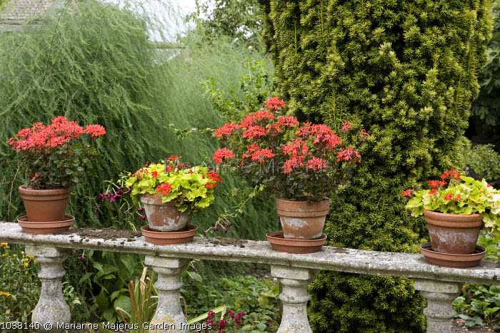 Stone balustrade with pelargoniums in containers