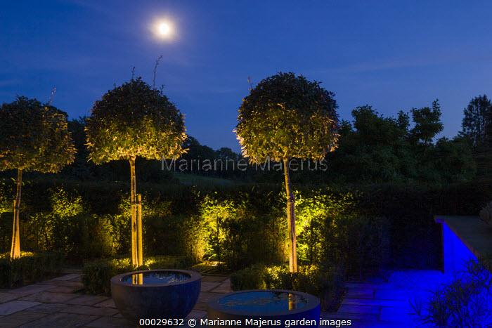 Blue florescent lights lighting low wall, up lit Elaeagnus x ebbingei lollipop standards, moon