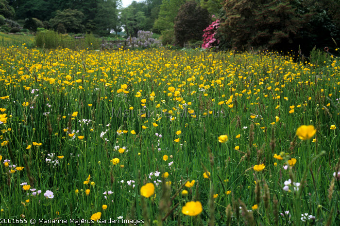 Wildflower meadow with buttercups and Cuckoo flowers