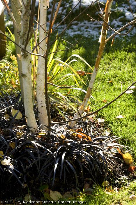 Multi-stemmed Betula utilis var. jacquemontii growing through Ophiopogon planiscapus 'Nigrescens'