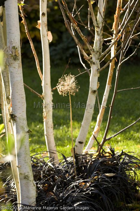 Multi-stemmed Betula utilis var. jacquemontii growing through Ophiopogon planiscapus 'Nigrescens', allium seedhead