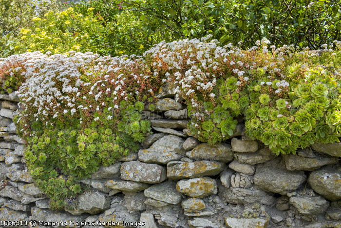Sempervivum tectorum growing on dry-stone wall