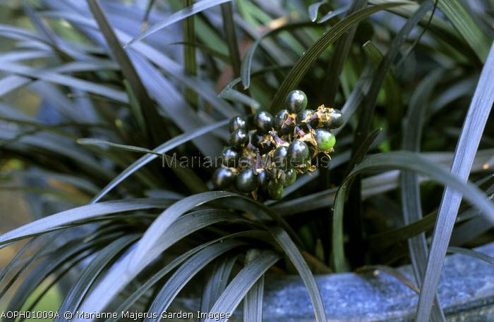 Ophiopogon planiscapus 'Nigrescens' with berries