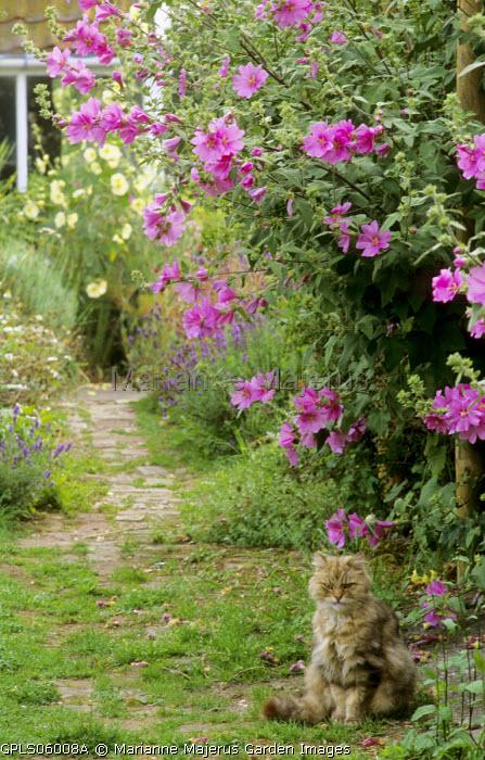 Cat sitting under pink malva, evening primrose