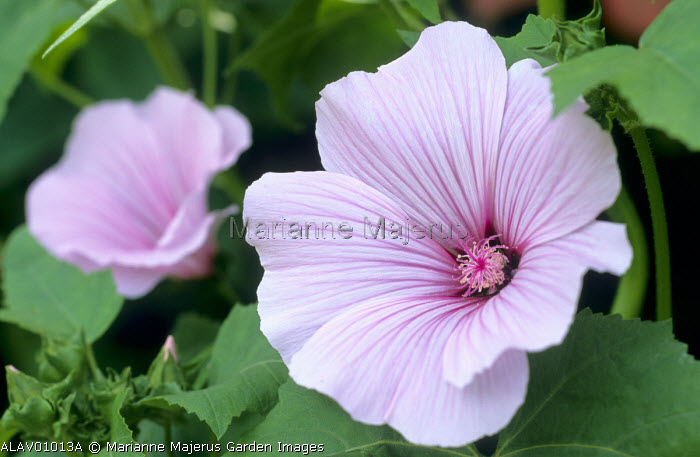 Lavatera x clementii 'Bressingham Pink'