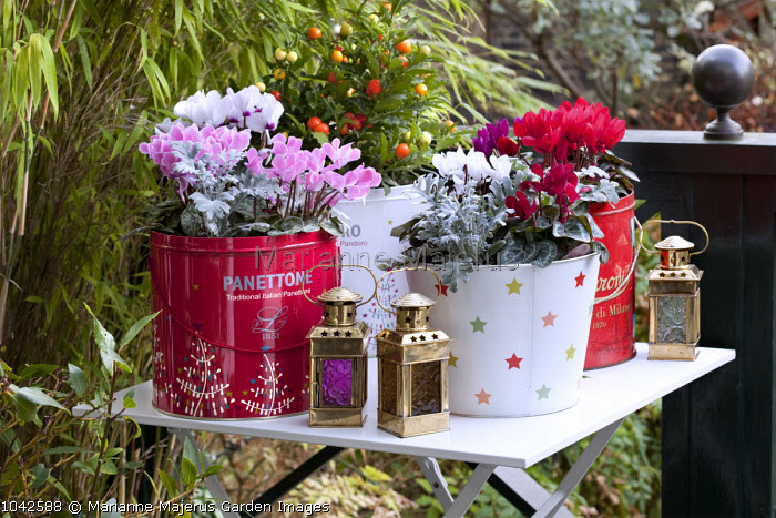 Cyclamen, Senecio cineraria 'Silver Dust' and Solanum pseudocapsicum in recycled tin cans, lantern, table