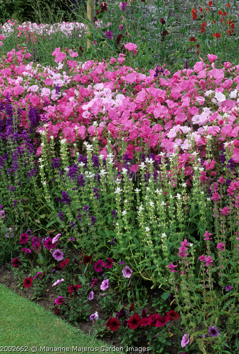 Petunia, Salvia horminum and Lavatera 'Silver Cup' in mixed border