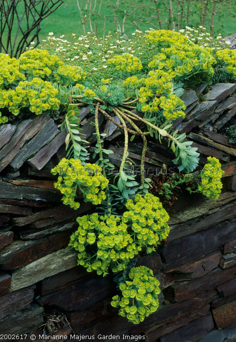Euphorbia myrsinites and Saxifraga 'Flowers of Sulphur' in slate wall