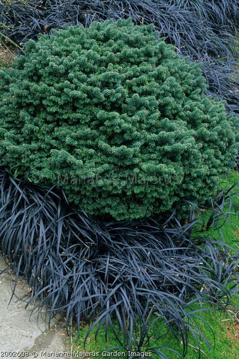 Abies balsamea f. hudsonia, Ophiopogon planiscapus 'Nigrescens'