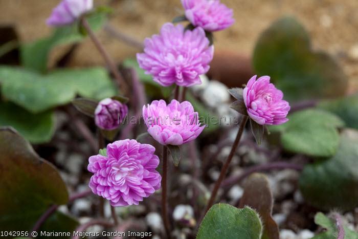 Hepatica nobilis var. japonica 'Wakakusa', syn. Anemone hepatica, Hepatica triloba