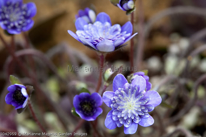 Hepatica nobilis var. japonica 'Yamahibiki', syn. Anemone hepatica, Hepatica triloba