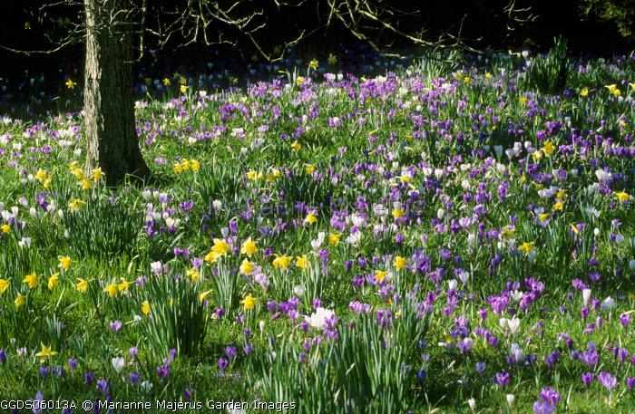 Naturalised Crocus vernus and Narcissus pseudonarcissus