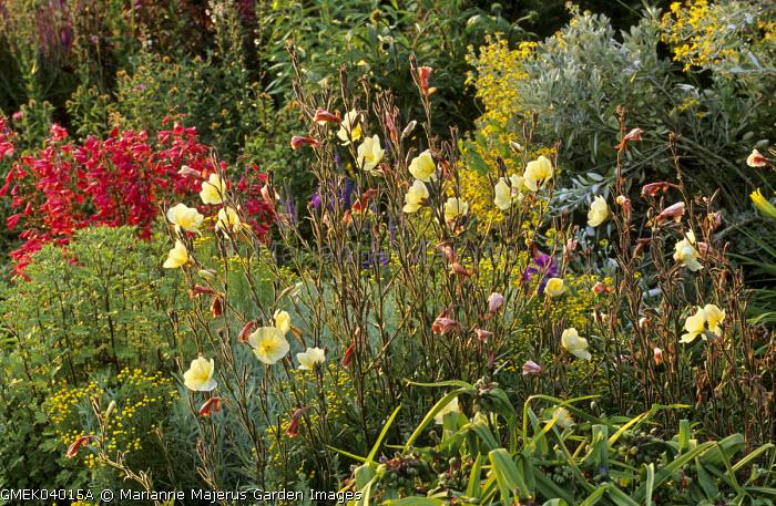 Herbaceous border, Oenothera biennis, Penstemon 'Garnet', senecio